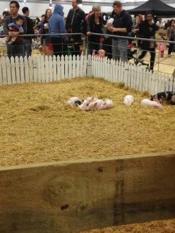 Cute little piglets.