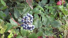 Found some wild blueberries